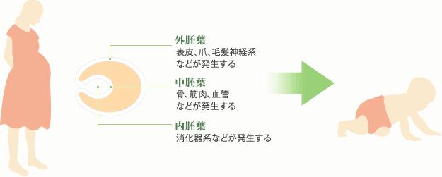 胚の3つの組織